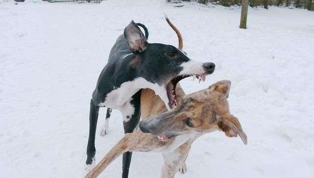 spanish-greyhound-631660_640