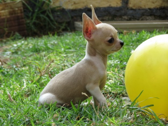 perritos-chihuahua-de-bolsillo