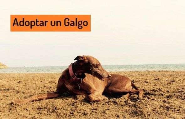 Adoptar un Galgo
