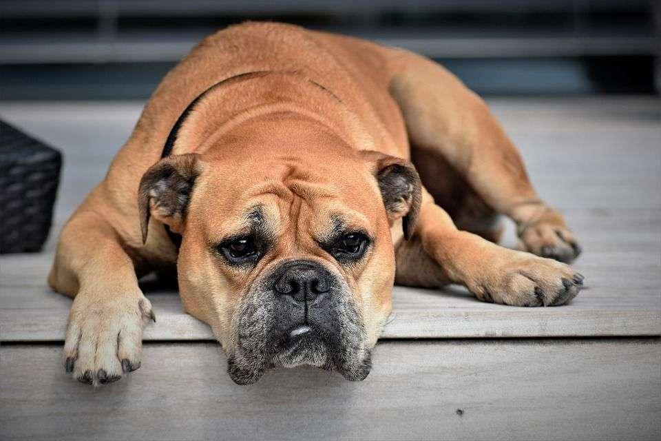 Consejos Básicos para Prevenir la Gripe Canina