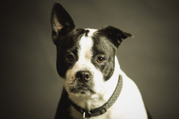 orejas-cachorro